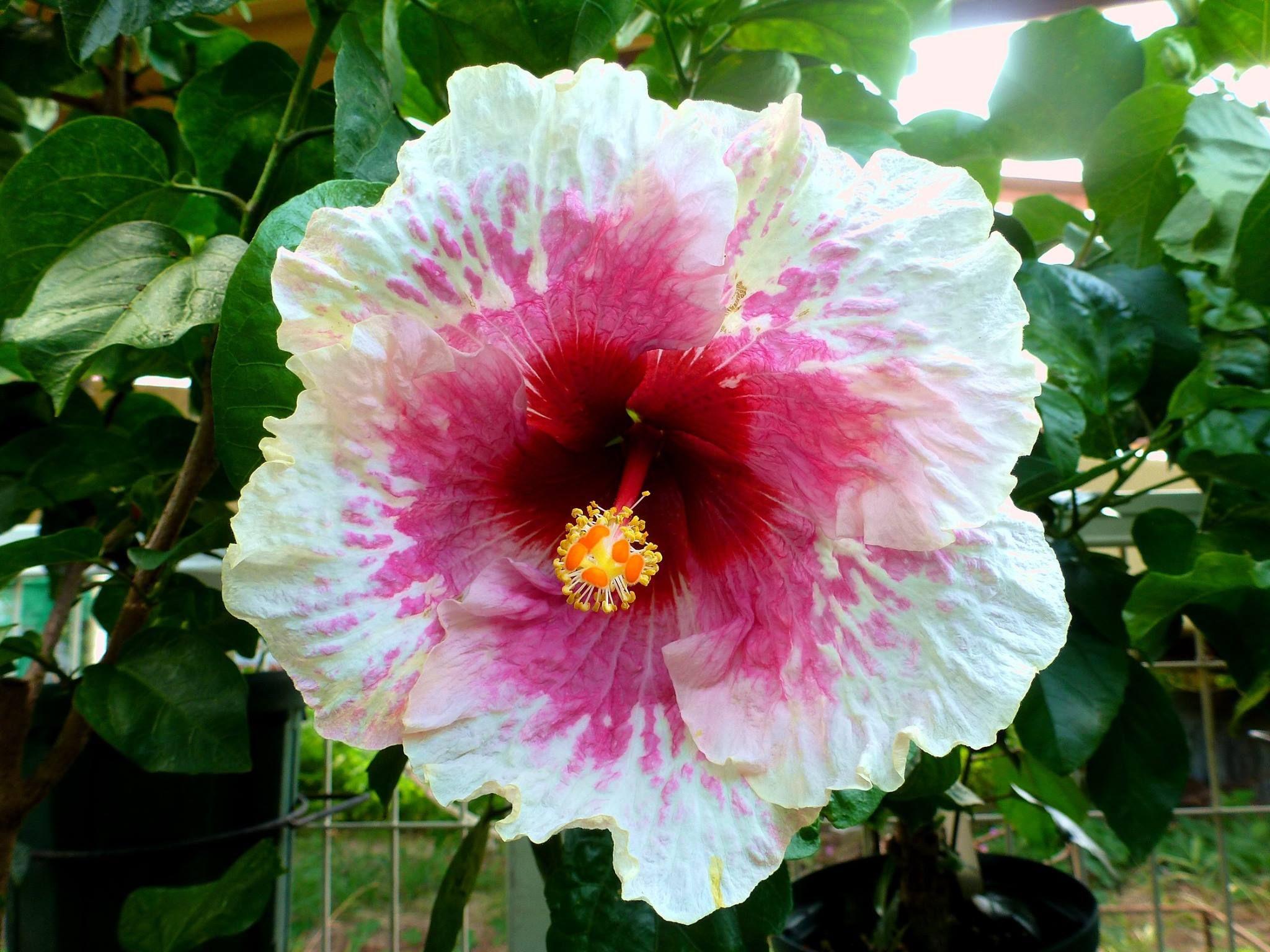 Hibiscus magic island hibiscus pinterest hibiscus flowers hibiscus magic island izmirmasajfo
