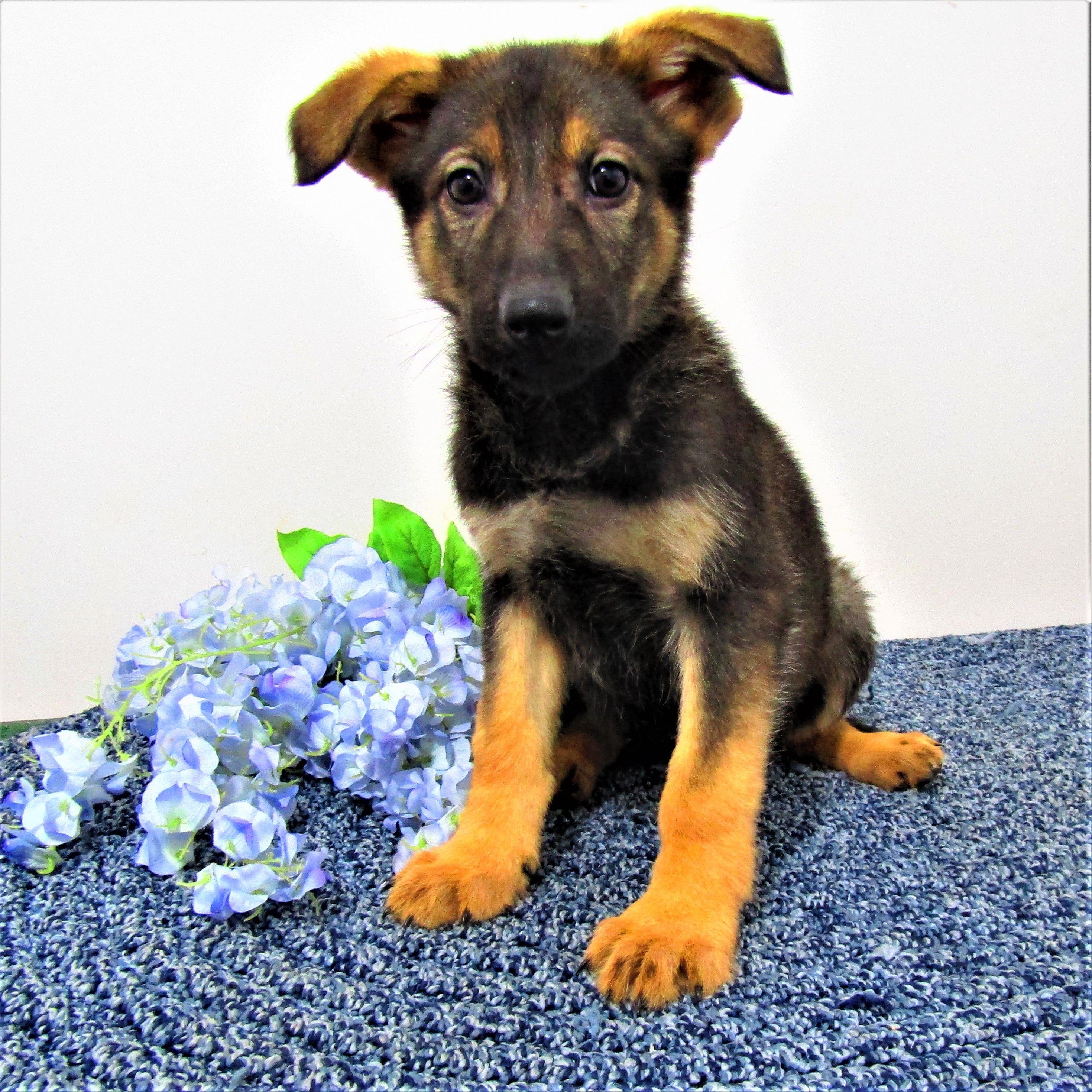 Queen puppy AKC German Shepherd for sale near New Haven