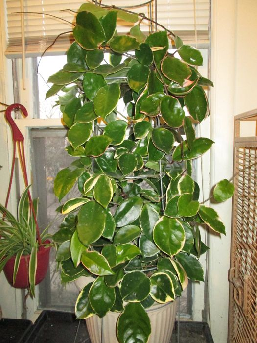 hoya krimson queen green leaves white edges house plants my rh pinterest com