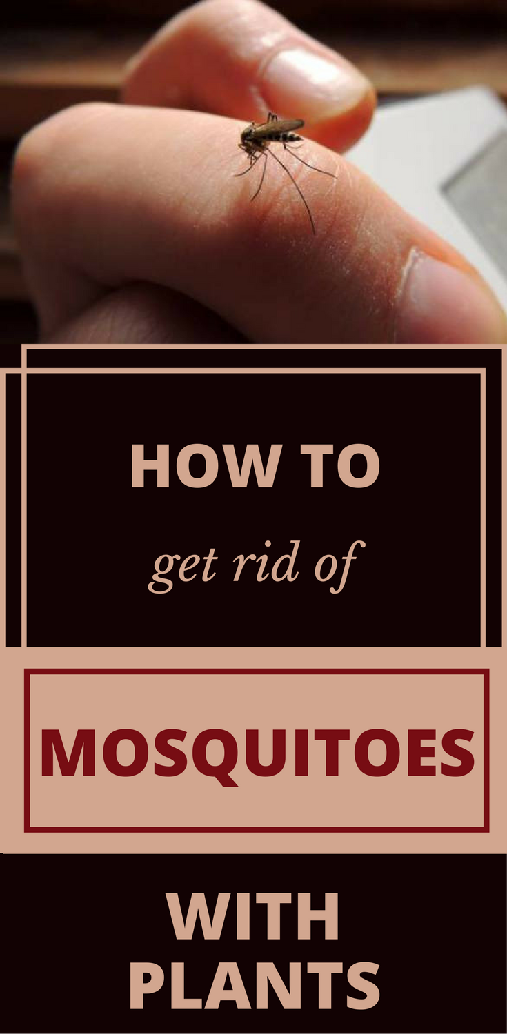 How To Get Rid Of Mosquitoes With Plants | Garden pests ...