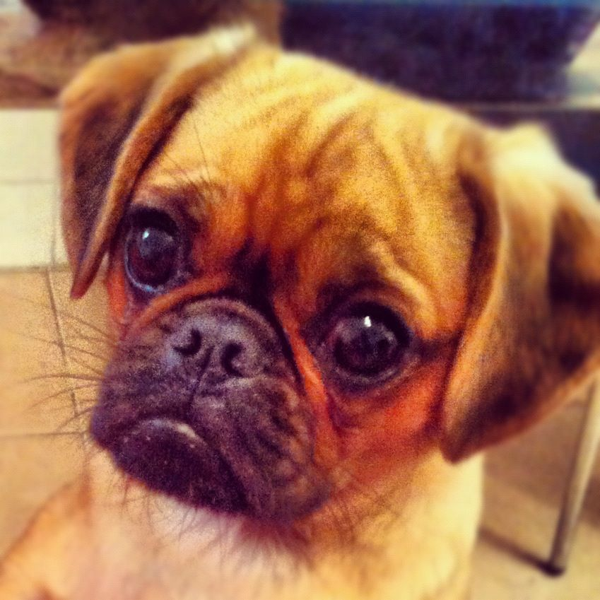 My Pugalier Hendrix So Cute Pugalier Puggle Pug Mixed Breeds