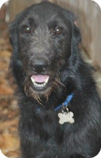 Norwalk Ct Irish Wolfhound Labrador