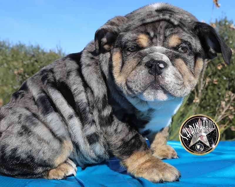 Shrinkabull S Blue Merle Miniature English Bulldog Puppies