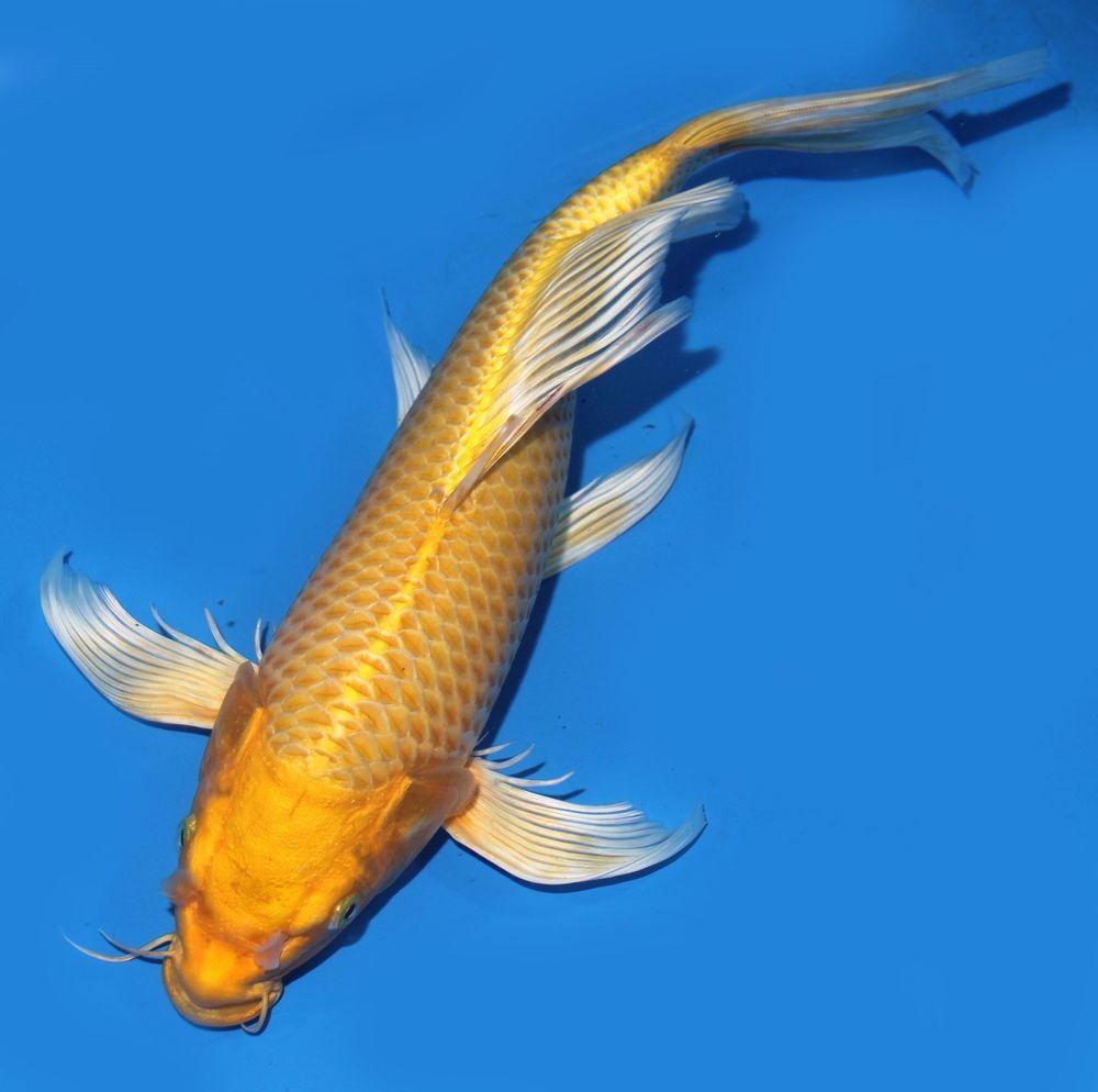 Live koi fish 13 14 yellow yamabuki ogon butterfly koibay for Koi yamabuki