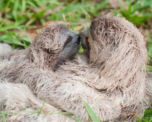 Photos Paralyzed Baby Sloth Thrives In Manuel Antonio Rescue Center