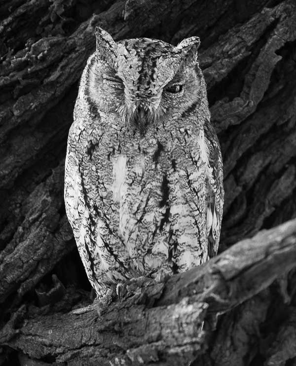 Tiny African Scops Owl (Otus senegalensis) Satara Camp, Kruger National Park, South Africa. A very small owl with ear tufts. During the day the Scops will often roost in a tree, positioning itself on a branch against the tree trunk where its cryptic coloring makes detection difficult. This camouflage is further enhanced when the owl compresses its feathers, appearing to elongate itself, while raising its ear tufts, closing its eyes, and creating the illusion of a tree stump.