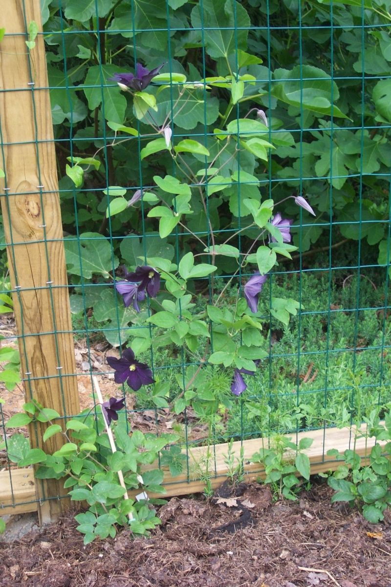 http forums gardenweb com discussions 2198612 clematis vine