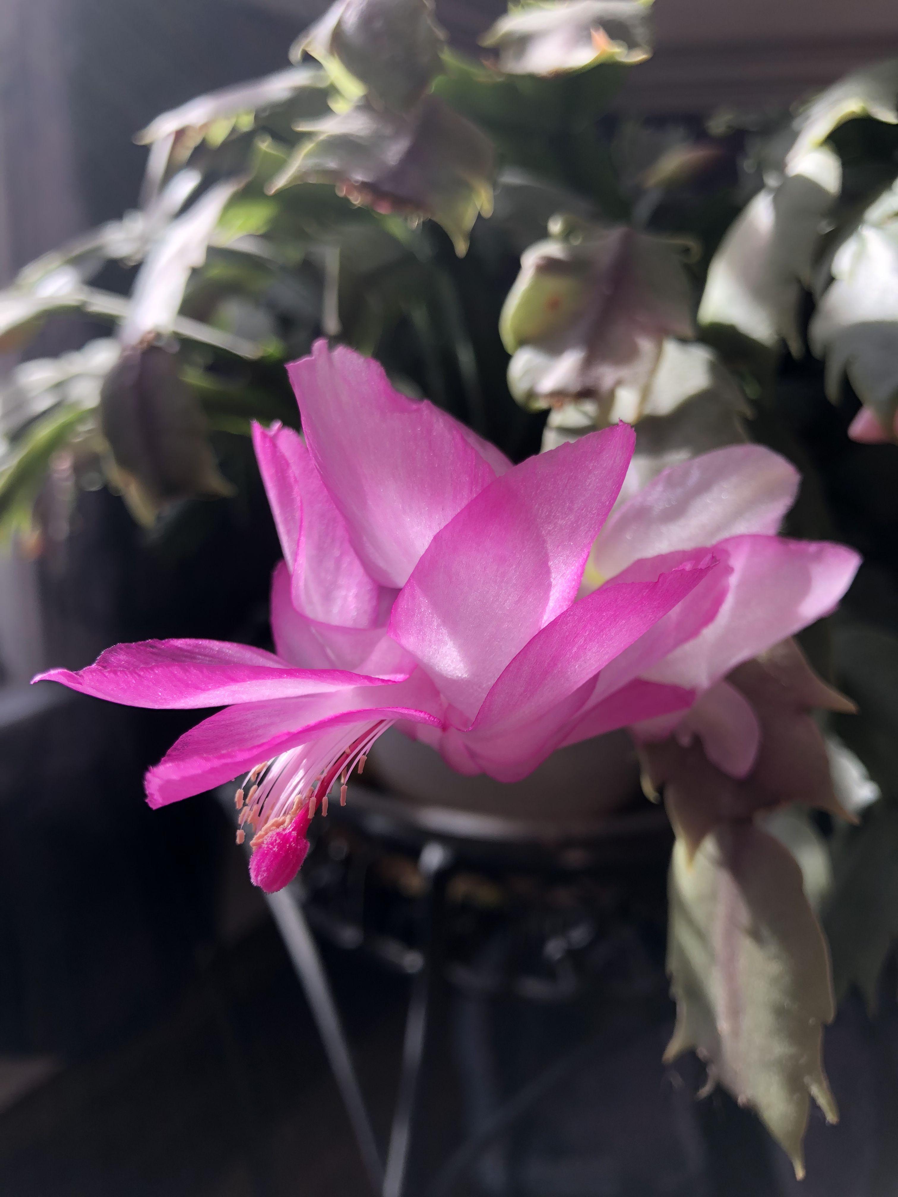 Christmas Cactus Flower Christmas cactus flower, Cactus