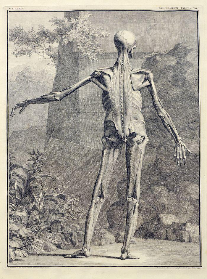 Albinus Anatomical Prints | Circulating Now / Anatomical <3 ...