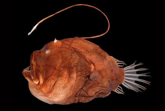 angler fish mating - photo #17