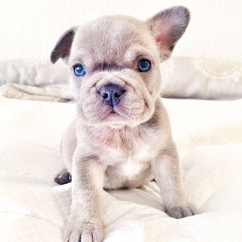 Frenchie Breeder V Instagram A Lilacgravy Daughter
