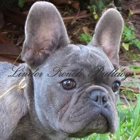 Lindor French Bulldogs Lindor French Bulldogs Bulldog Puppies