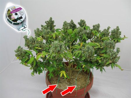 Twist ties are a must for cannabis growers who plan to LST or otherwise train their cannabis plants for better yields. Learn more about cannabis plant training here: http://www.growweedeasy.com/training