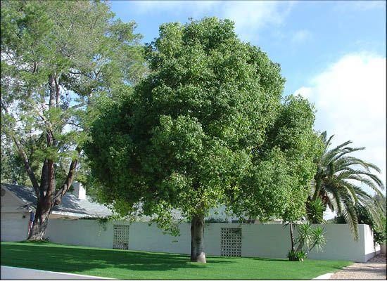 Australian Bottle Tree For Sale Evergreen Trees Shade Trees Bottle Tree Valley Nursery