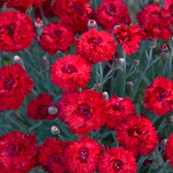Photo of Dianthus 'Maraschino' PP27882 CPBRAF   Perennial Resource