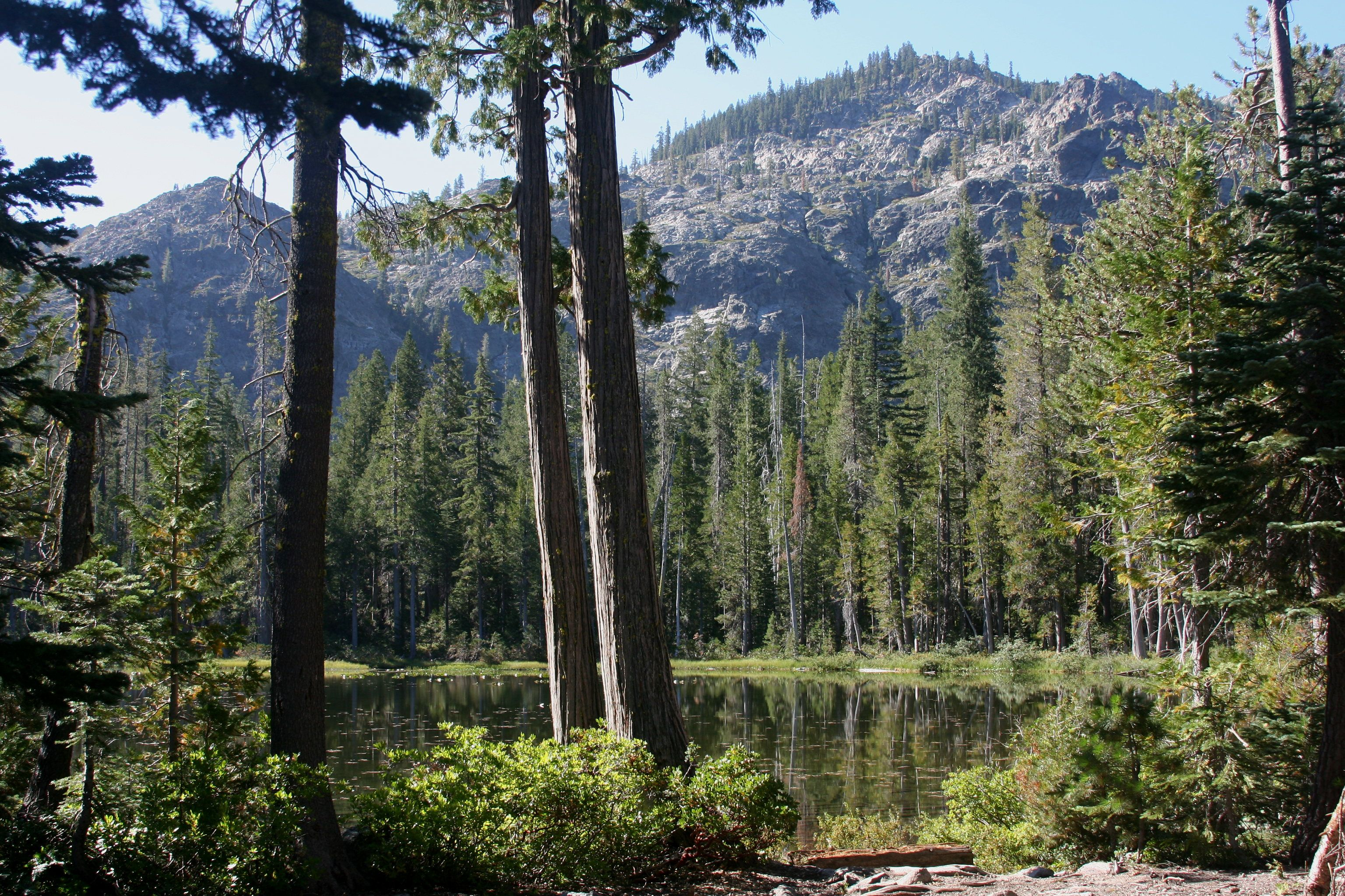 Chamaecyparis lawsoniana at Lower Cliff Lake in 2020 Big