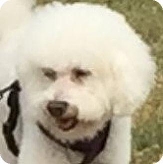 Placentia, CA - Poodle (Miniature)/Bichon Frise Mix. Meet Dillon, a dog for adoption. http://www.adoptapet.com/pet/15351113-placentia-california-poodle-miniature-mix