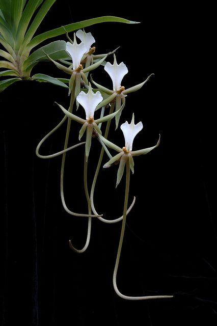 Plectrelminthus caudatus Plectrelminthus é um género botânico pertencente à família das orquídeas