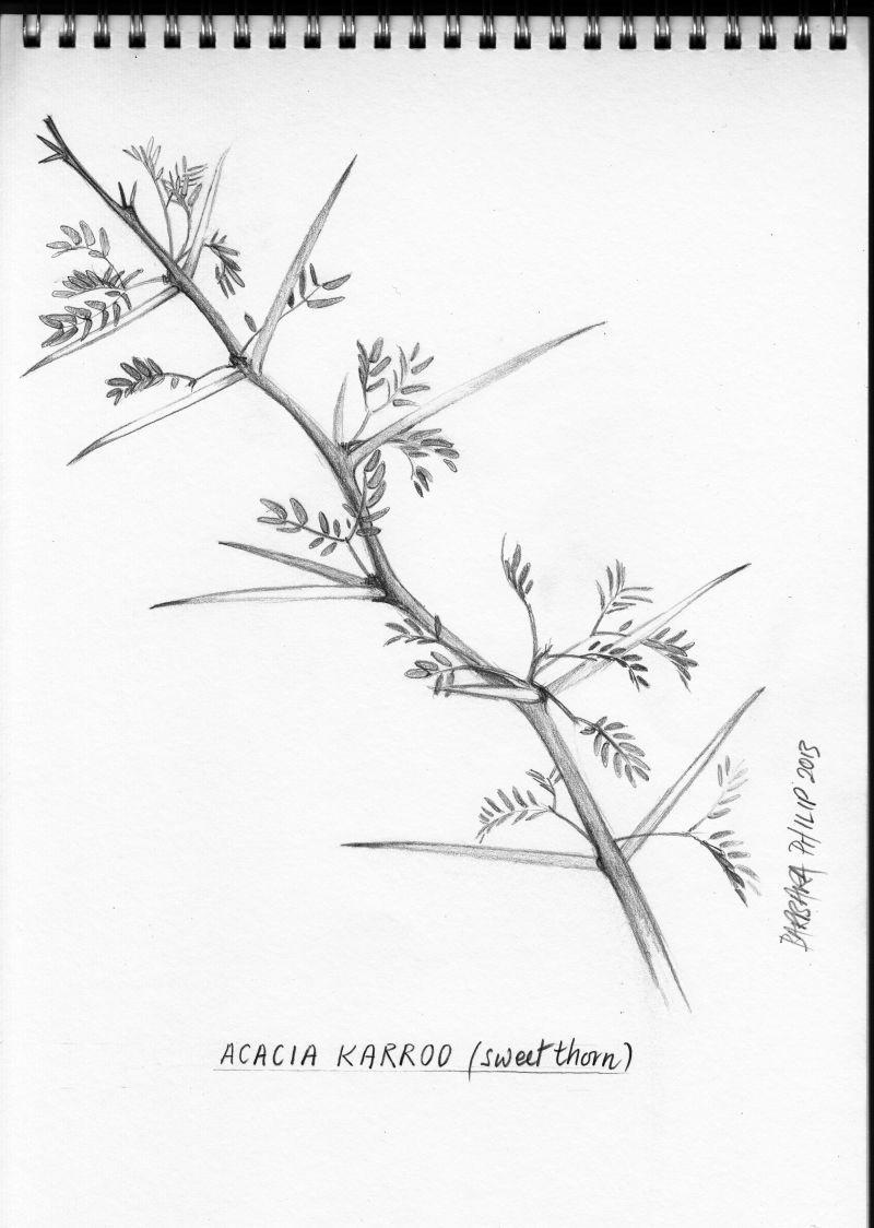 Acacia Karroo Sweet Thorn Pencil Sketch Tree Drawings Pencil Acacia Leaves Sketch