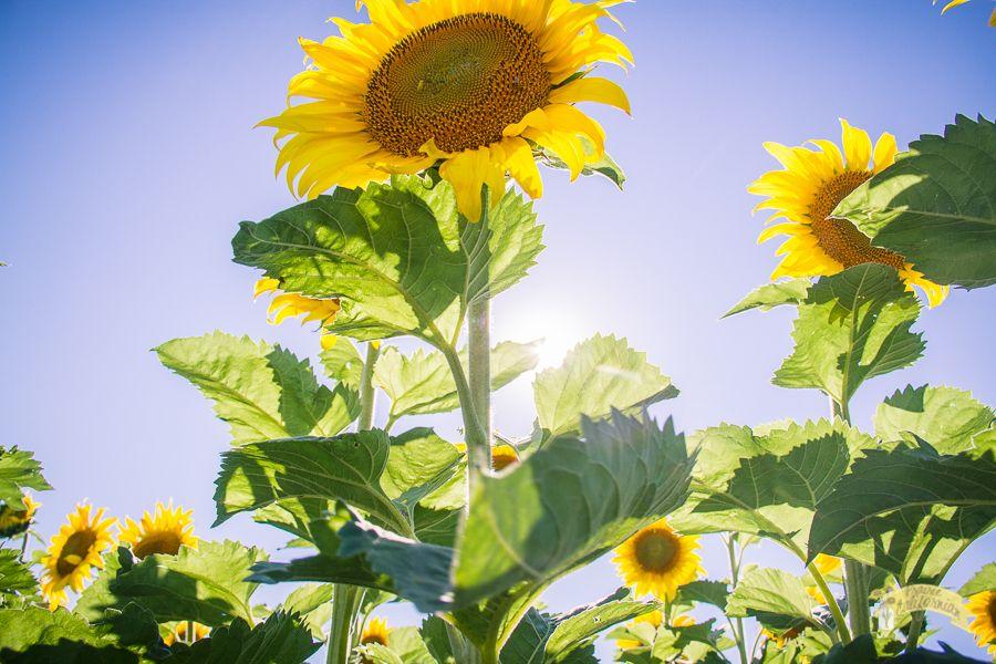 Types Of Sunflowers Types Of Sunflowers Sunflower Planting Sunflowers