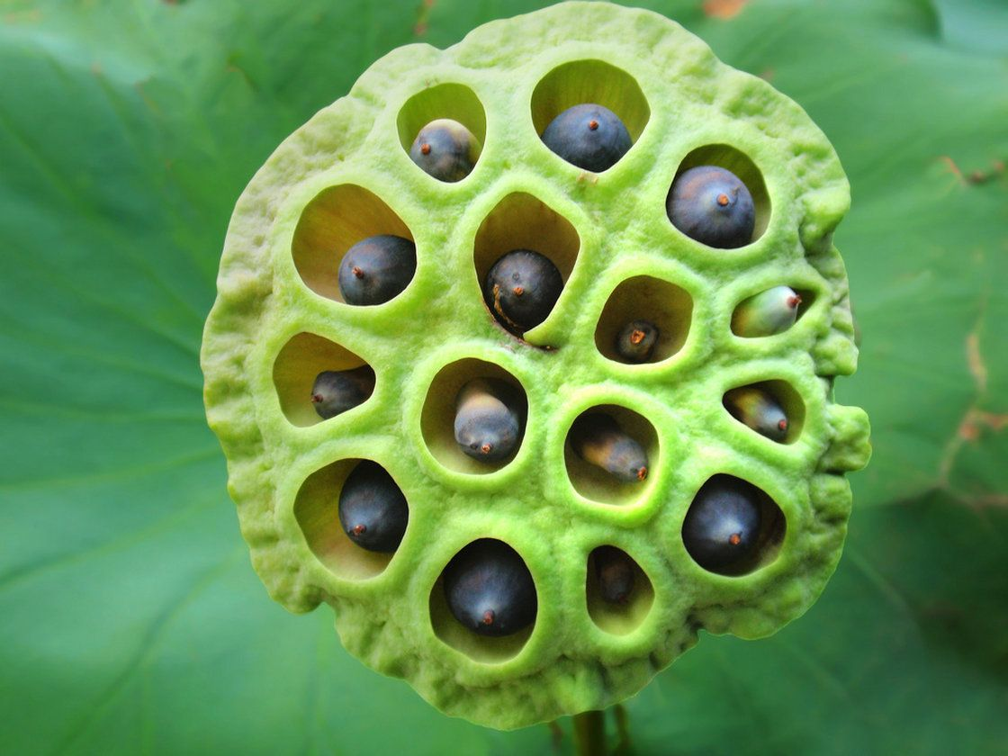 Fear of holes may be reaction to venomous critters psychological a recent survey found that an image of a lotus seed head izmirmasajfo
