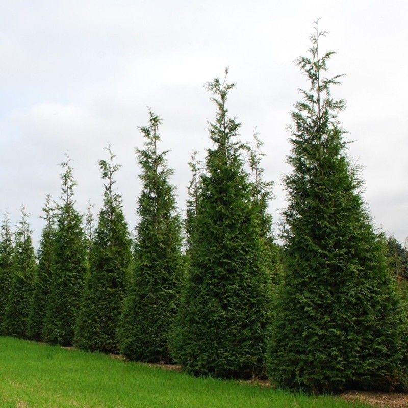 Thuja Wintergreen Arborvitae Tree Fast Growing Privacy Screen Or Hedge In 2020 Thuja Green Giant Green Giant Arborvitae Giant Arborvitae