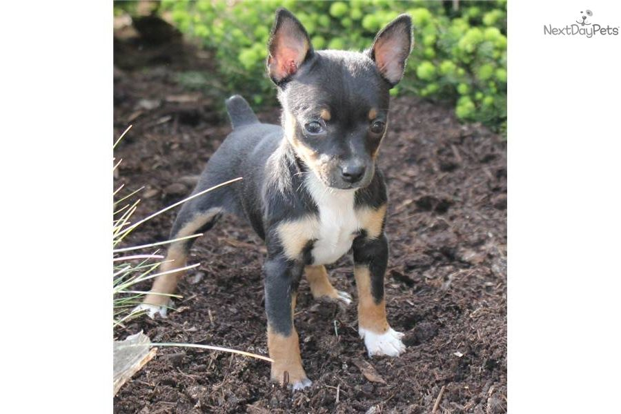 Free Toy Fox Terrier Lacey Female 325 Toy Fox Terriers Fox