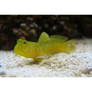 Yellow Watchman Fish Salt Water Fishing Salt Water Fish