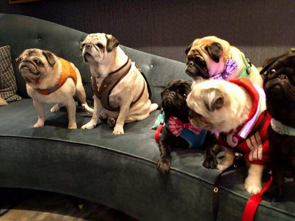 Pugstakechicago With Reporter Felix Pugzu Pugs Dogs Pets