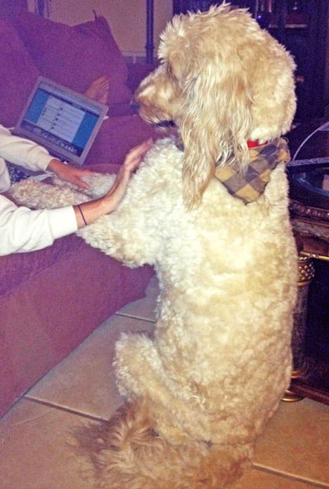 Adopt Fl Teddy Adopted On Goldendoodle Adoption Big Beautiful