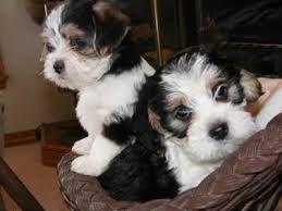Matleagle Maltese Beagle Mix Beagle Mix Puppies Dog Trends