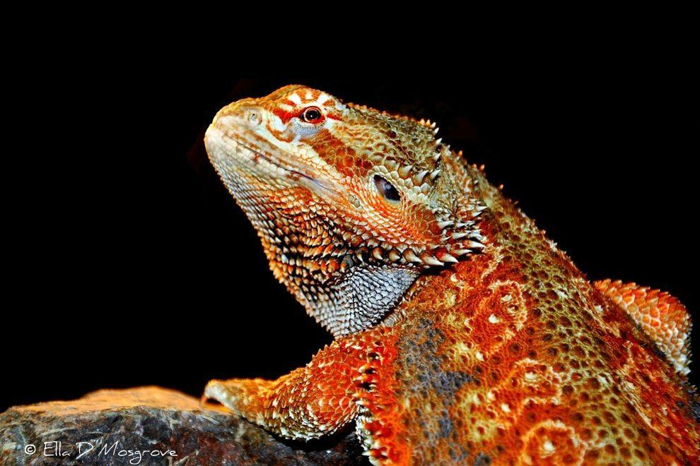 The Dunner Jelas Phat Phibs Lizard Animals Gecko