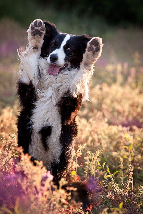 Happy Border Collie   animals ▫ wildlife   Dogs, Collie puppies