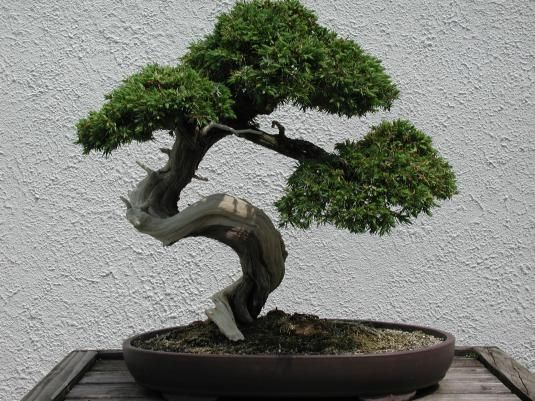Pinus Mugo Pumilio Bonsai Google Search
