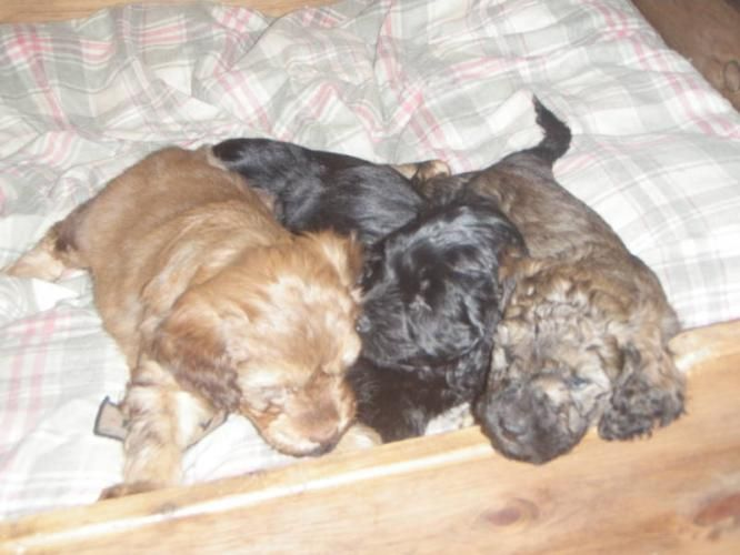 Mini Goldendoodles For Sale Mini F2b Goldendoodle For Sale