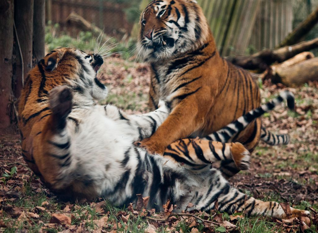 Fight (With images) Animals wild, Cute animals, Wild cats