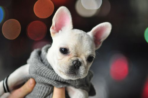 French Bulldog Puppy In A Sweater Little Friends Tiere Hund