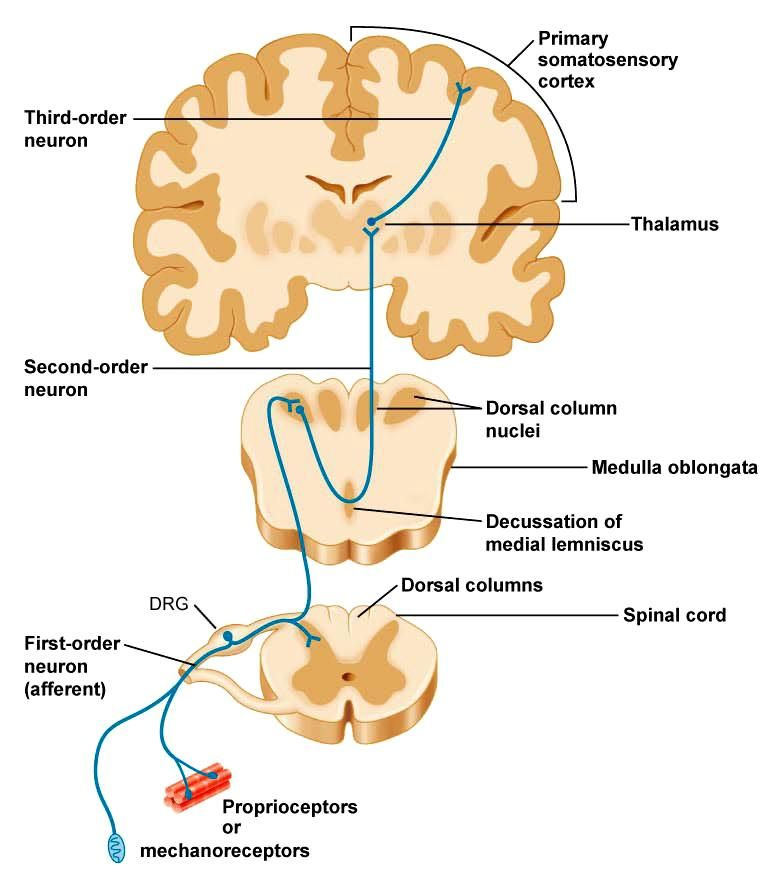 Somatic Senses Education: Pin By Paola Lewis On DPT - Physical Therapy