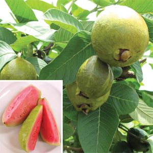 Guava Ruby Supreme Psidium Guajava One Of The Easiest Tropical Fruiting Plants To Grow For Beginning Fruit Gardener Has