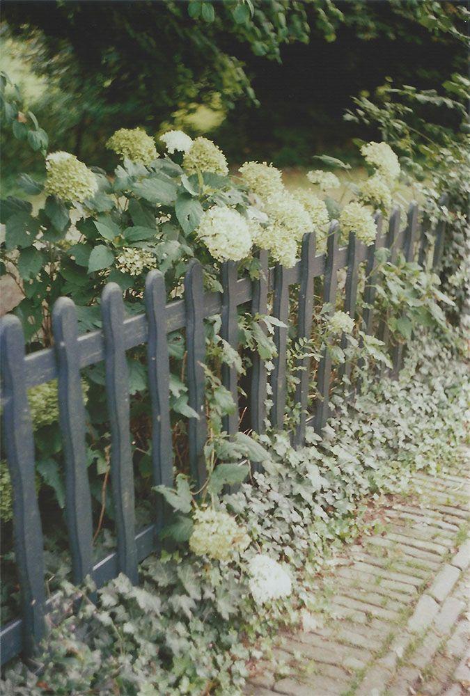 White Hydrangeas in Bronkhorst, the Netherlands   another reverie