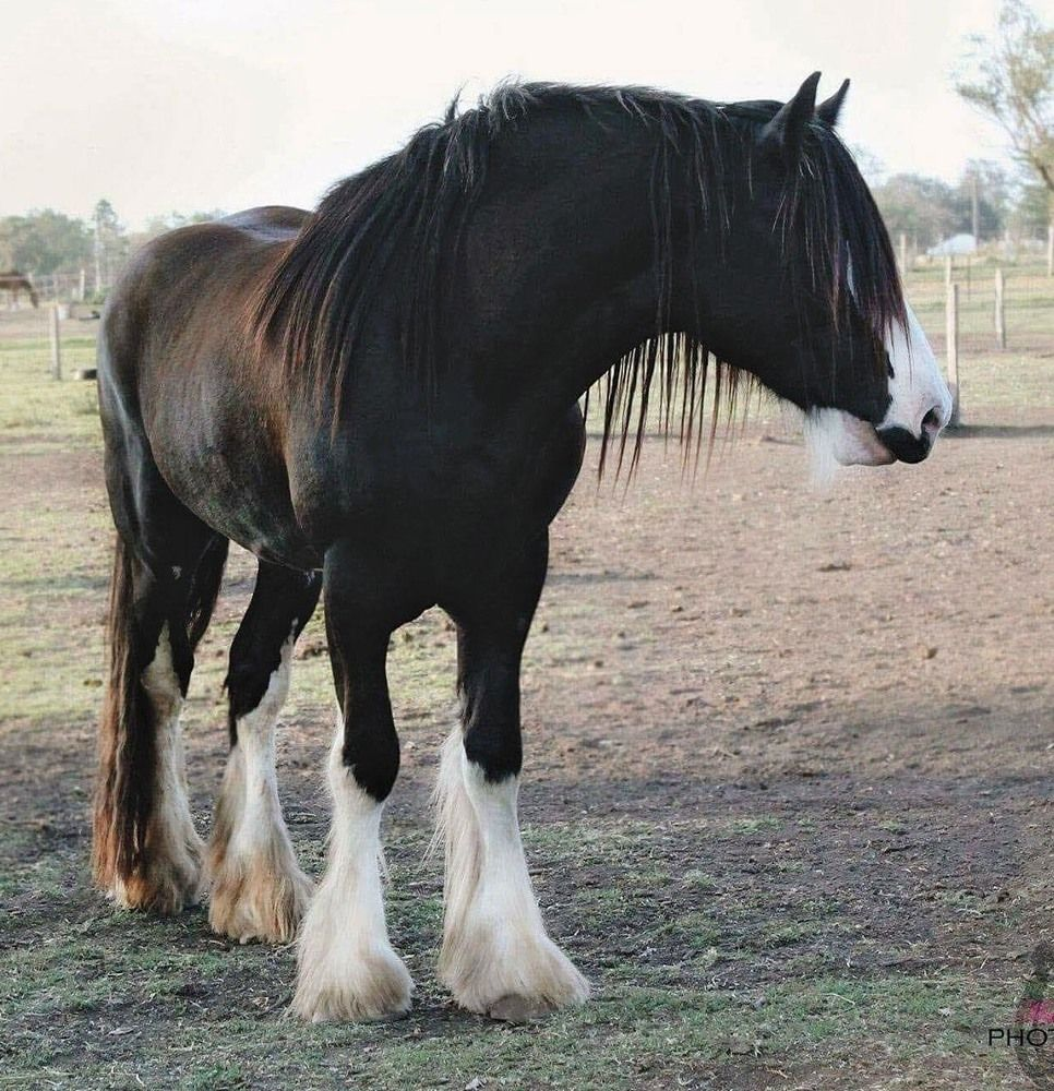 Crofters Downs James E Clydesdale horses for sale