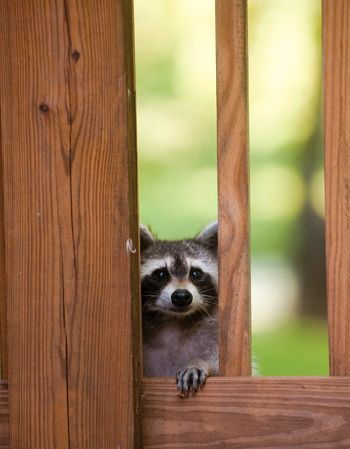 How to prevent wildlife from moving into your home and humane ways to evict them