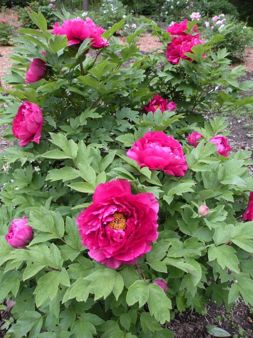Japanese Peony Poems U2013 Cricket Hill Garden