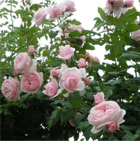 achat rosier grimpant nahema ® - vente de nos créations et