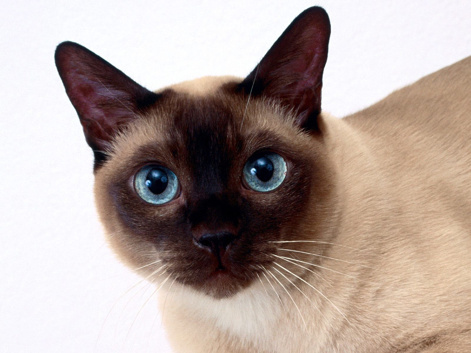 Cats Animals Siamese White Background Fresh New Hd