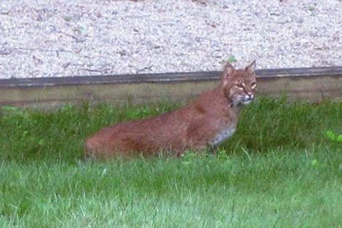 Bobcat sighted in Colchester resident's back yard (With