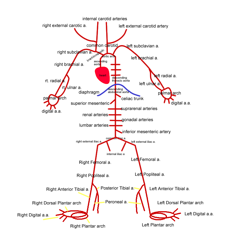 Brain blood supply 3d pictures and detail of blood vessel brain blood supply 3d pictures and detail of blood vessel routes ccuart Images