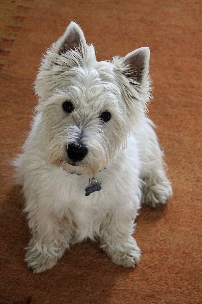 Henry The Westie 6 Months Old Corgi Dog Westies West Highland