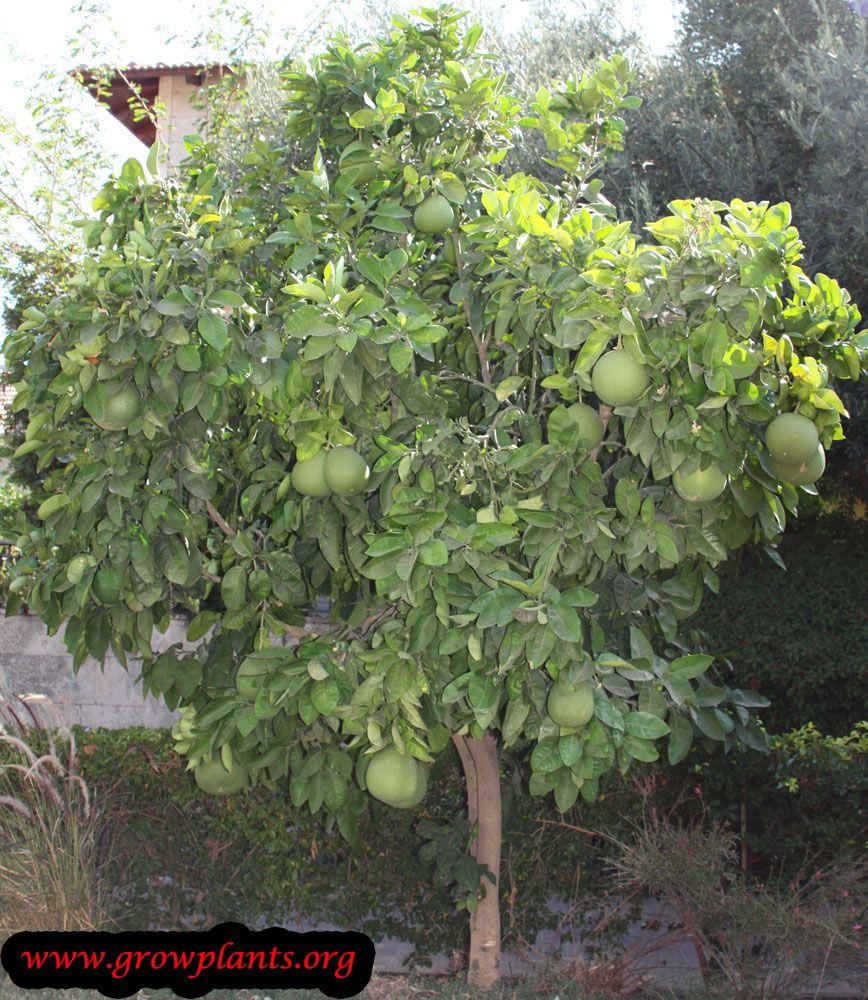 Pomelo Front Yard Plants Fruit Trees Pomelo