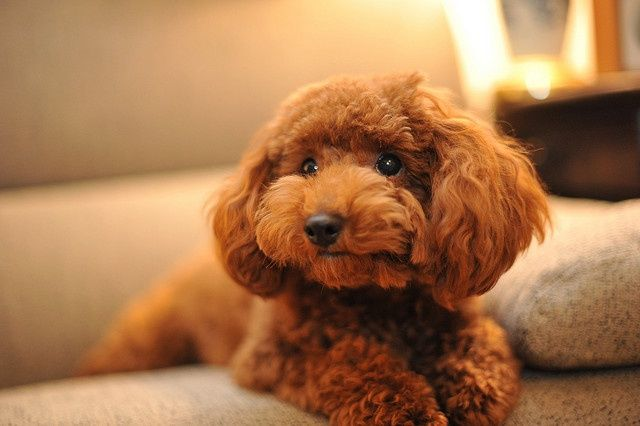 Mini Poodle Brown Google Search Toy Poodle Poodle Puppy Dog